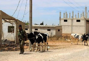A member of the Syrian army pulls cows which he stole from a house in the rural areas.
